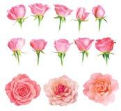 L'insieme delle rose fresche ha isolato Immagine Stock Libera da Diritti