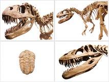 L'insieme dello scheletro dei dinosauri e del fossile di trilobiti, su bianco ha isolato il fondo Immagini Stock