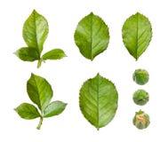 L'insieme di è aumentato foglie e germogli isolati su fondo bianco Raccolta degli elementi floreali naturali Fotografia Stock