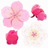 L'insieme di Sakura è fiore e germoglio Illustrazione di vettore Fotografie Stock Libere da Diritti