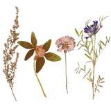 L'insieme di selvaggio asciuga i fiori e le foglie urgenti Immagine Stock