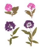 L'insieme di selvaggio asciuga i fiori e le foglie urgenti Fotografia Stock