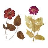 L'insieme di selvaggio asciuga i fiori e le foglie urgenti Fotografia Stock Libera da Diritti