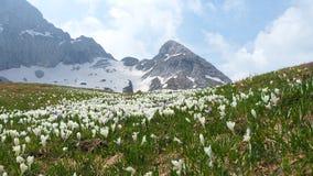 L'insieme meraviglioso di croco fiorisce al prato alpino Fiore del croco Fiori della montagna Nei precedenti le alpi Immagini Stock