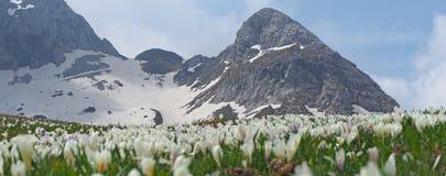 L'insieme meraviglioso di croco fiorisce al prato alpino Fiore del croco Fiori della montagna Nei precedenti le alpi Fotografia Stock Libera da Diritti