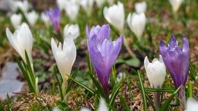 L'insieme meraviglioso di croco fiorisce al prato alpino Fiore del croco Fiori della montagna Paesaggio della sorgente Immagini Stock