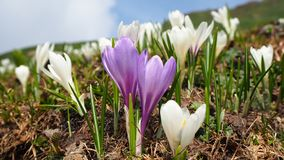 L'insieme meraviglioso di croco fiorisce al prato alpino Fiore del croco Fiori della montagna Paesaggio della sorgente Fotografie Stock