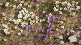 L'insieme meraviglioso di croco fiorisce al prato alpino Fiore del croco Fiori della montagna Paesaggio della sorgente Immagine Stock