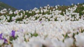 L'insieme meraviglioso di croco fiorisce al prato alpino Fiore del croco Fiori della montagna Paesaggio della sorgente Fotografia Stock