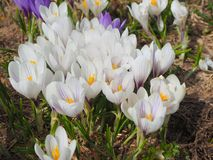 L'insieme meraviglioso di croco fiorisce al prato alpino Fiore del croco Fiori della montagna Paesaggio della sorgente Immagini Stock Libere da Diritti