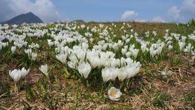 L'insieme meraviglioso di croco fiorisce al prato alpino Fiore del croco Fiori della montagna Paesaggio della sorgente Immagine Stock Libera da Diritti