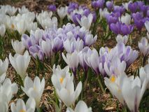 L'insieme meraviglioso di croco fiorisce al prato alpino Fiore del croco Fiori della montagna Paesaggio della sorgente Fotografie Stock Libere da Diritti