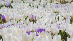 L'insieme meraviglioso di croco fiorisce al prato alpino Fiore del croco Fiori della montagna Paesaggio della sorgente Fotografia Stock Libera da Diritti