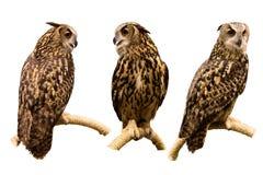 L'insieme tre del eurasian Eagle Owl si è appollaiato su un ramo isolato sopra fotografia stock