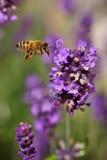 l'instruction-macro d'isolement par miel détaillé par abeille a empilé très le blanc Image stock