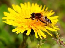 l'instruction-macro d'isolement par miel détaillé par abeille a empilé très le blanc Photos stock