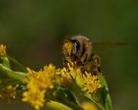 l'instruction-macro d'isolement par miel détaillé par abeille a empilé très le blanc photo stock