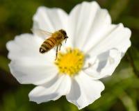 l'instruction-macro d'isolement par miel détaillé par abeille a empilé très le blanc Photographie stock