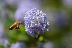 l'instruction-macro d'isolement par miel détaillé par abeille a empilé très le blanc Image libre de droits