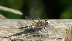 L'intercettore Vasto-bodied della libellula o la femmina Vasto-bodied di depressa di Libellula del Darter si siede su un tronco a stock footage