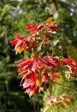 L'inverno selvaggio è aumentato con i fiori in Indonesia Fotografia Stock Libera da Diritti