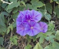L'ipomea che fiorisce nell'inizio di pomeriggio con malva venato i petali. Immagine Stock