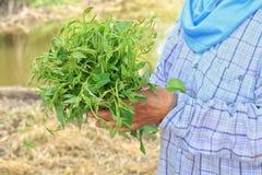 L'ipomea fresca, le foglie di verdure molli, ipomea di parola di Pak-BoongThai nelle mani degli agricoltori, coltiva il vegeta fr Fotografia Stock Libera da Diritti