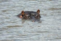 L'ippopotamo in acqua con soltanto capo attacca fuori Immagine Stock Libera da Diritti