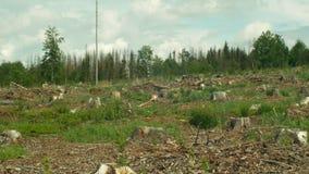 L'ips typographus attillato del parassita dello scarabeo di corteccia, foreste attillate ha infestato la siccità, piccola piantin stock footage