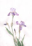 L'iride fiorisce la pittura dell'acquerello Fotografie Stock Libere da Diritti
