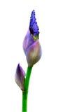 L'iris bourgeonnent Photos stock