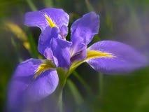 L'iris est un symbole de force et d'éloquence Images libres de droits