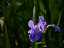 L'iris est un symbole de force et d'éloquence Image libre de droits