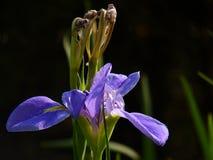 L'iris est un symbole de force et d'éloquence photos stock