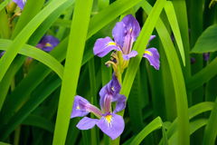 L'iris pourpré fleurit (le germanica d'iris) photo stock