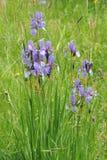 L'iris sauvage coloré fleurit sur un pré vert en début de l'été en Slovaquie Photo libre de droits