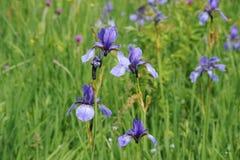 L'iris sauvage coloré fleurit sur un pré vert en début de l'été en Slovaquie Images stock