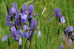 L'iris sauvage coloré fleurit sur un pré vert en début de l'été en Slovaquie Photographie stock