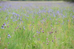L'iris sauvage coloré fleurit sur un pré vert en début de l'été en Slovaquie Photos libres de droits