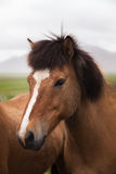 l'islande Cheval rouge Photos libres de droits