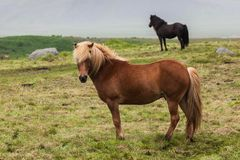 l'islande Chevaux Photo stock