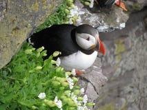 L'Islande, sur la route, roches, oiseau, papuchalk, herbe verte images libres de droits