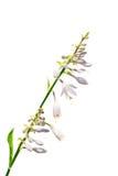 L'isolat accueille la fleur sur un fond blanc Photos libres de droits