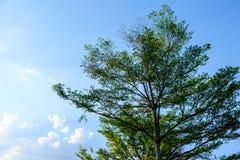 L'isolato dell'albero con il fondo del cielo Fotografia Stock