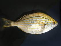 L'isolato dell'unità del fondo del pesce Immagine Stock Libera da Diritti