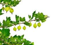 L'isolato si ramifica uva spina su un fondo bianco Immagine Stock
