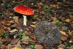 L'istrice è accanto al fungo Fotografia Stock Libera da Diritti