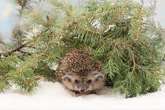 L'istrice curioso nell'abete e nel ginepro si ramifica sulla neve Fotografia Stock Libera da Diritti