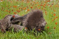 L'istrice (dorsatum del Erethizon) entra nell'erba Fotografie Stock