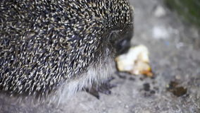 L'istrice sveglio mangia il primo piano, gli animali, fauna selvatica video d archivio
